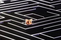 Syrian hamster in a maze