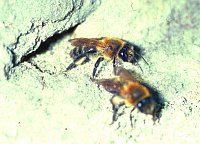 Two females of the communal nesting bee Andrena carantonica depart their common nest entrance